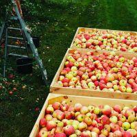 jablka jabusko