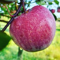 jabusko jablko
